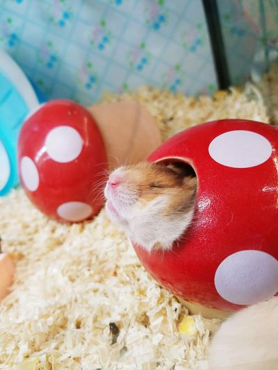 Close-up of guinea pig in artificial mushroom
