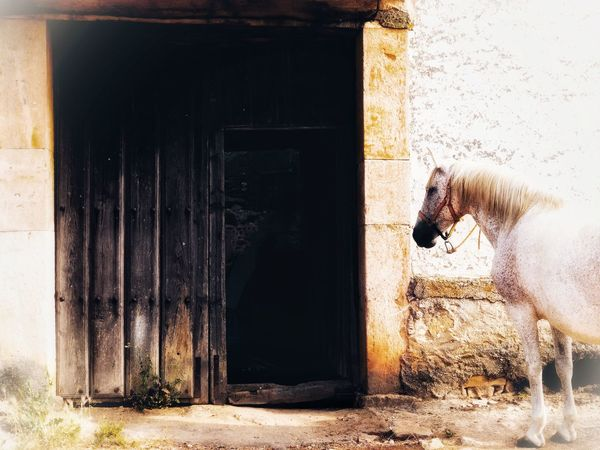 Rural Life Farm Stable Door Domestic Animals Mammal Animal Themes Built Structure One Animal Architecture Livestock Building Exterior Rural Architecture Horses Horse Life Rural Scene Farm Animals Farm Life Village Life Rural House Doorway Antique Door Horse Stable Village Livestock