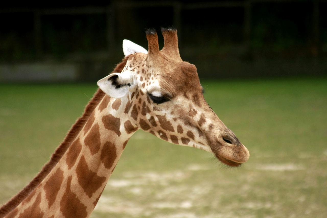 one animal, animal themes, mammal, giraffe, animals in the wild, focus on foreground, animal wildlife, animal markings, day, close-up, safari animals, no people, outdoors, nature