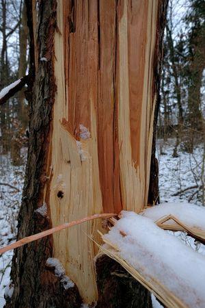 Friederike Kiefernstamm Sturmschaden Sturmschaden Winter Aufgespaltet Bruch Gesplittert
