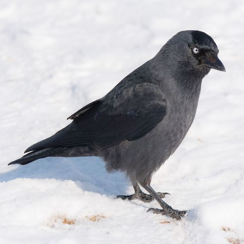 Jackdaw EyeEm Selects Winter Snow Cold Temperature Animal Wildlife Ice Bird Animals In The Wild Animal Frozen Nature One Animal Outdoors No People Close-up Day