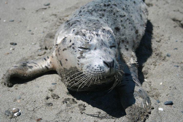 Common seal sleeping on beach