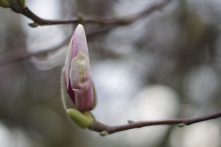 Close-up of pink flower buds
