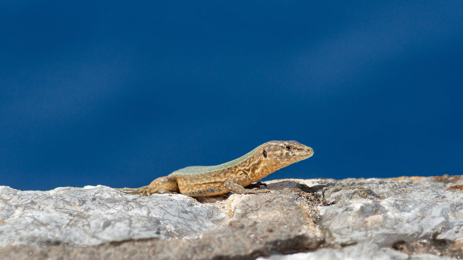 Close-up of lizard on rock against blue sky
