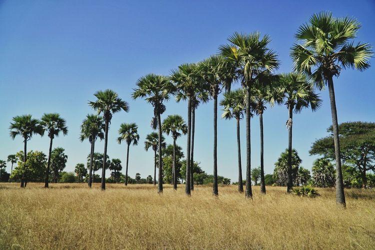 A row of palm
