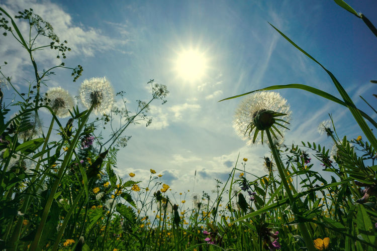 Low angle view of dandelion against sky