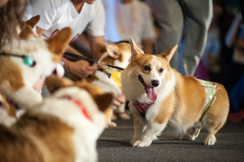 Midsection of men with pembroke welsh corgis during dog show