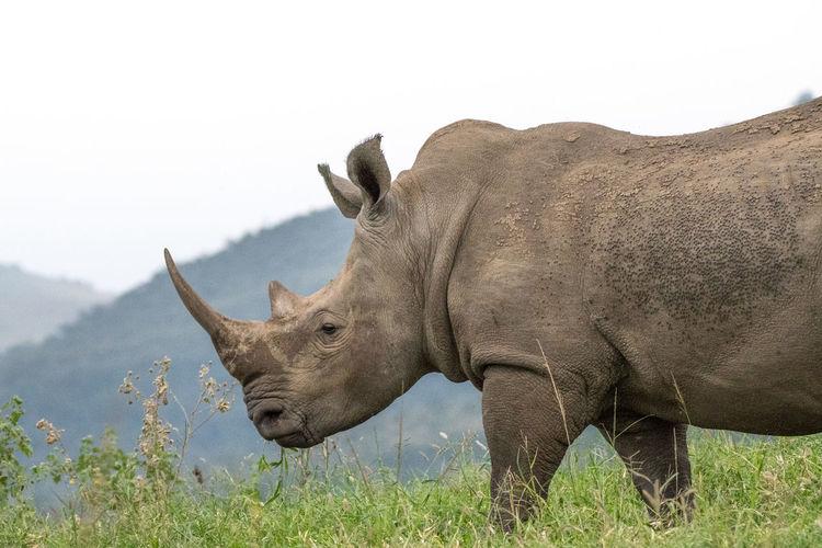 Side View Of Rhinoceros Walking On Grassy Field Against Clear Sky