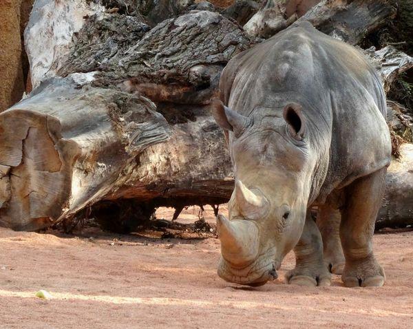 Rhino Rhinos