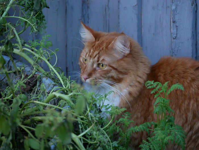 Ginger tabby cat in front of blue wall Animal Themes Blue Wall Cat Photography Cat Portrait Close-up Close—up Day Domestic Animals Domestic Cat Feline Ginger Cat Mammal Nature No People One Animal Outdoors Pets Street Photography Tabby Cat