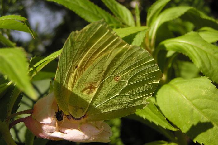 Butterfly Citroenvlinder Close-up Hidden Beauty In Nature