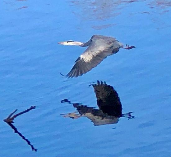 Heron Animals