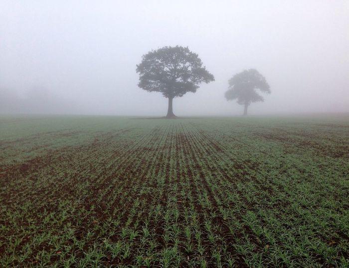 Trees in foggy field