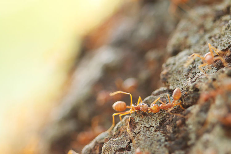 Red weaver ants help together, teamwork concept Leg Lovely Work Background Teamwork Nature Beautiful Leaf Friendly Smiling Macro Cute Worker Happy Two Walking Animal Bug Ants Insect Red Ant