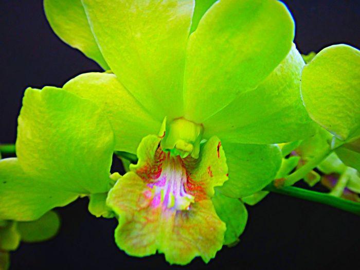 Vanda orchid.