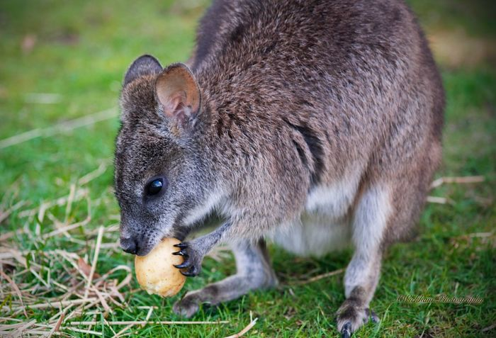 Just a wallaby with a potato Wallaby One Animal Animals In The Wild Animal Themes Grass Animal Wildlife Mammal No People Eating Close-up Nature Food Outdoors