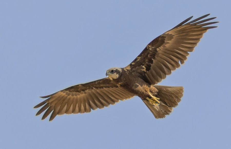 Marsh Harrier(female) Bird Flying Animal Wing Animal Wildlife Spread Wings Bird Of Prey Animals In The Wild Hawk - Bird Day Outdoors Sky Birds🐦⛅ Beauty In Nature No People Beak Bird Photos Feather  Animals In The Wild Feather  Sunny