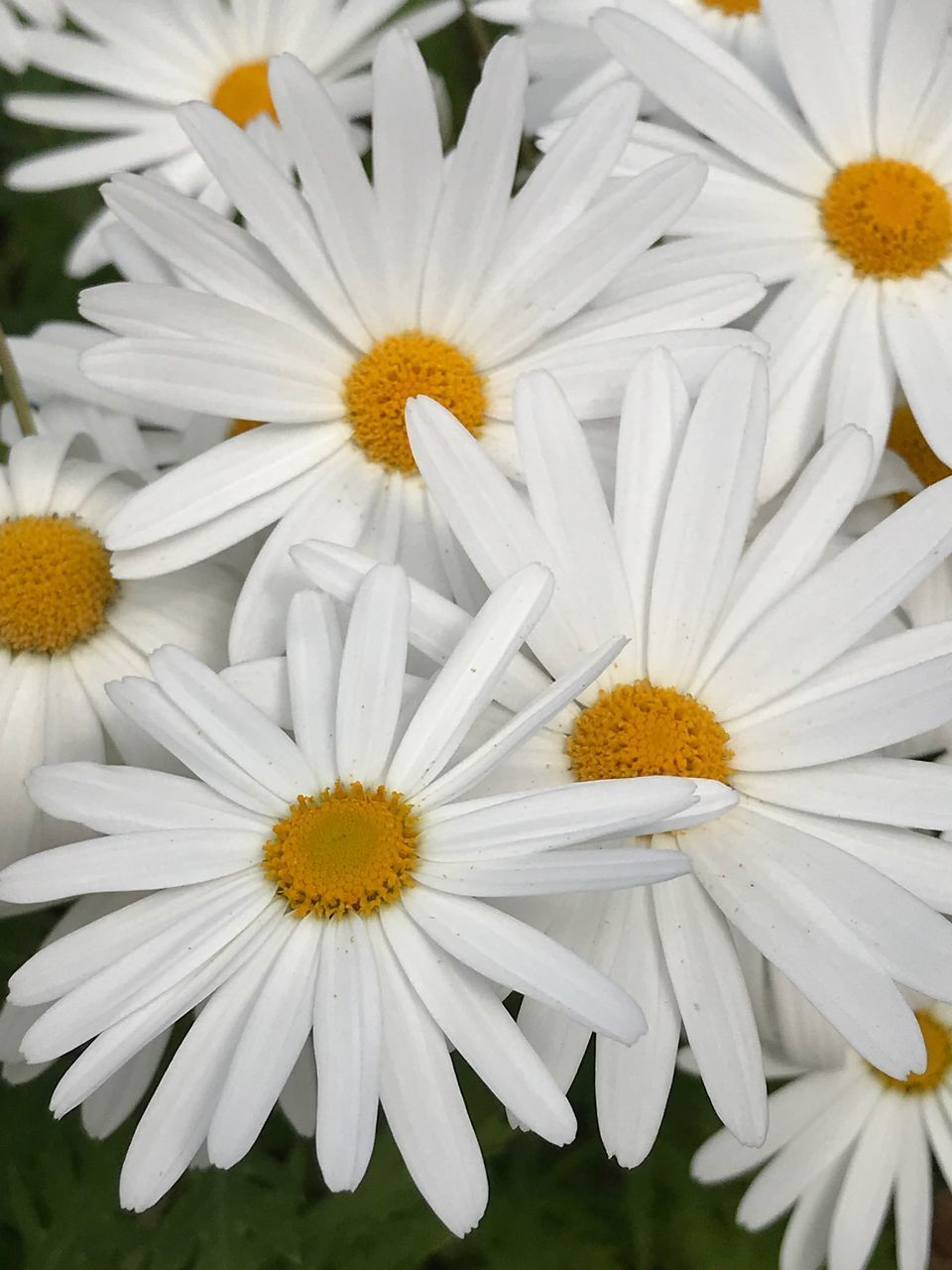 CLOSE-UP OF WHITE DAISY FLOWERS IN BLOOM