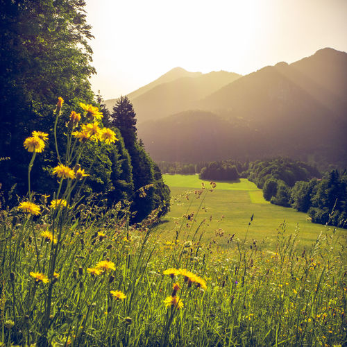 Blooming herbs in a field with mountains of the bavarian alps in the background with the peack of Wallberg mountain. Scharling, Bavaria, Germany, June 2019 Germany Tergernsee Wallberg Beauty In Nature Plant Environment Tranquility Landscape Growth Scenics - Nature Tranquil Scene Land Field Nature Sky Mountain No People Outdoors Bavaira Bavarian Alps Bavarian Landscape Herbs Blooming Yellow Sunlight Flower Rural Scene Non-urban Scene Agriculture Bright
