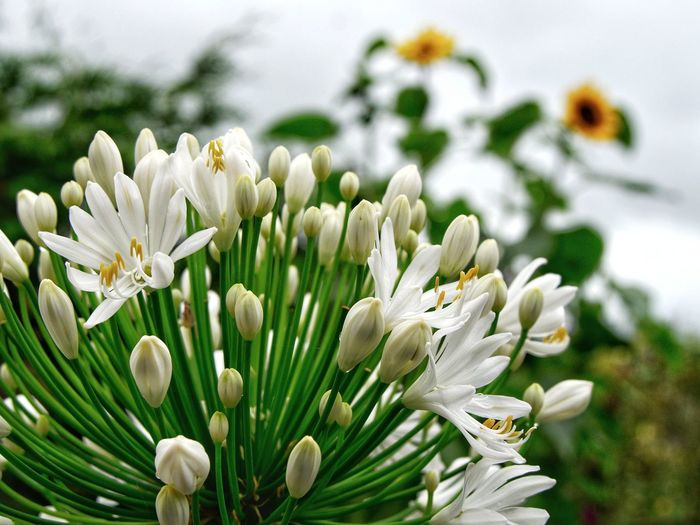 Close-up of white agapanthus, variety queen mum flowering plant