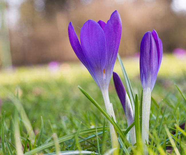 a6a38c4d8e Close-Up Of Crocus Blooming On Field