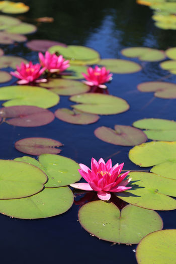 Beauty In Nature Close-up Day Floating On Water Flower Flower Head Fragility Freshness Growth Leaf Lily Pad Lotus Lotus Water Lily Nature No People Outdoors Petal Plant Water Water Lily