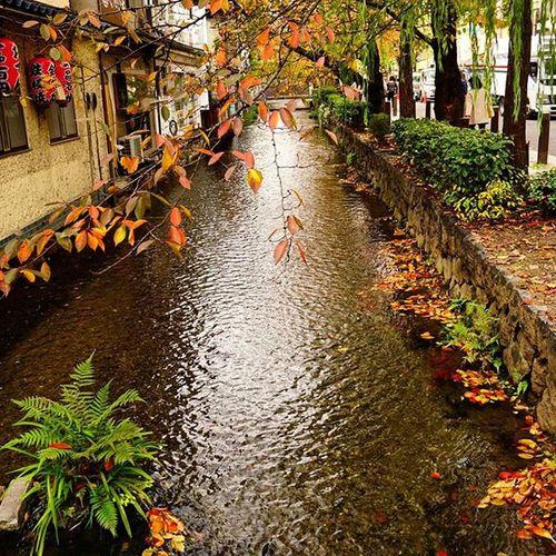もみじを控えてどきどきしてきた 四条通りめちゃ混み〜 . 高瀬川 Autumnlove Autumn Fall Fallenleaves Riverside Kyoto 😚 😚 Travelgram Red Yellow ColorsOfAutumn