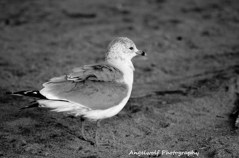 Beach Animal Bird Black And White Wildlife Bw Seagull Gull Eye4photography  Black And White Seagull