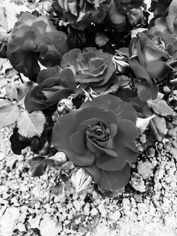 Taking Photo Bnw Monochrome Check This Out Edited My Way Photography Flowerporn Roses Flower Collection The Eye Em Facebook Cover Challenge
