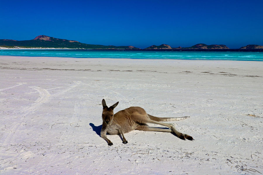 Australia Animal Themes Beach Beauty In Nature Blue Clear Sky Day Domestic Animals Horizon Over Water Kangeroo Mammal Nature No People One Animal Outdoors Sand Scenics Sea Sky Water
