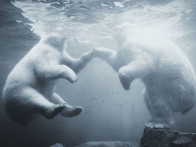 Polar Bear Hi5 Growing Better My Smartphone Life Underwater Photography Capture The Moment