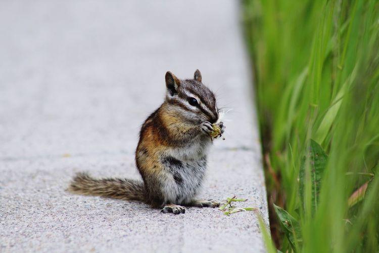 Squirrel sitting in a grass