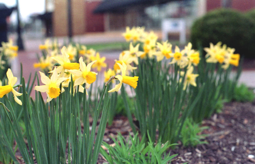 Beauty In Nature Close-up Daffodil Day Field Film Photography Filmisnotdead Flower Flower Head Flowerbed Flowering Plant Focus On Foreground Fragility Freshness Growth Inflorescence Nature No People Outdoors Petal Plant Spring Springtime Vulnerability  Yellow