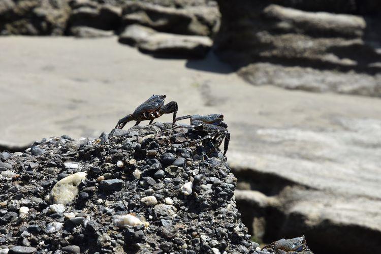 Crab Peru Two