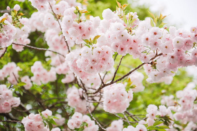 Pastel pink cherry blossoms (sakura) blooming in spring in bright sunny day with blue sky Flowering Plant Flower Freshness Beauty In Nature Pink Color Fragility Vulnerability  Growth Blossom Close-up Springtime Petal Tree Nature Botany Branch Day No People Cherry Blossom Flower Head Outdoors Cherry Tree Pollen Bunch Of Flowers Hanami Sakura