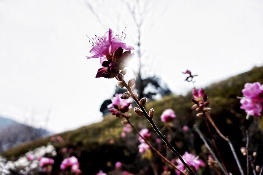 Flower Head Nature Beauty In Nature Beauty In Nature Day Pink Color Flower Nature Fragility Growth Freshness Plant Petal Blooming Springtime No People Outdoors Close-up Blossom Sky Plum Blossom EyeEm Photo Like Followme