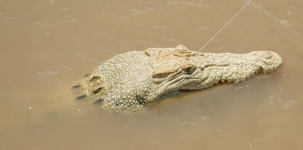 Unique white saltwater crocodile named Pearl with hypomelanism in the Adelaide River in the Northern Territory of Australia Water Adelaide River River Saltwater Crocodile Northern Territory Australia Hypomelanism Pigmentation Variation White Animal Wildlife Reptile Animal Themes Animals In The Wild Animal Body Part Crocodile Warning Sign Waterfront Animal Eye Animal Scale Aggression  Close-up Animal Head  Vertebrate One Animal