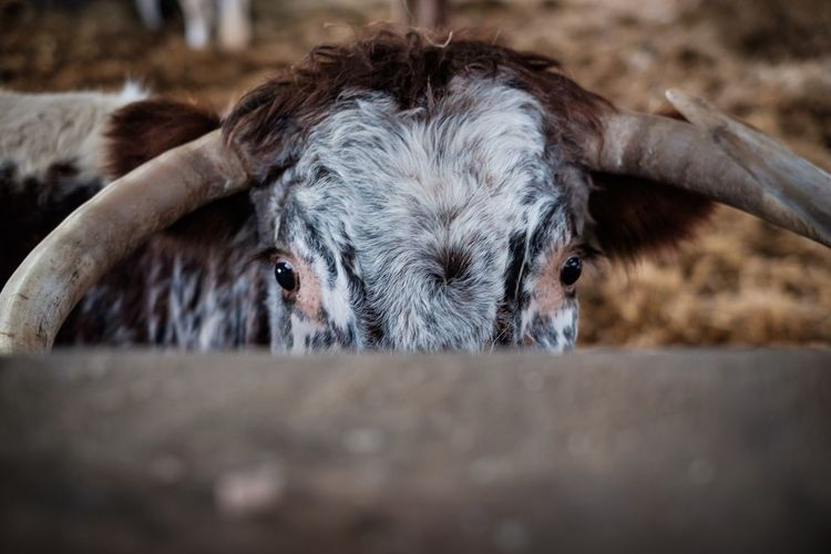 Moove on Livestock Domestic Animals Animal Themes Mammal Focus On Foreground One Animal Looking At Camera Portrait Cattle Horned Domesticated Animal Tag No People Day Close-up Nature Highland Cattle Outdoors Horn Horns Cow Eyesonly Eyes