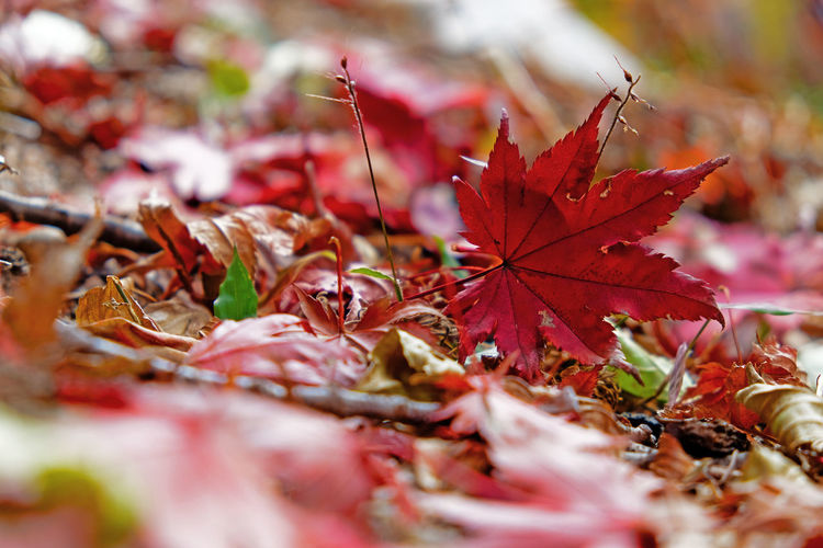 Autumn Beauty In Nature Change Close-up Day Dry Fallen Fragility Leaf Maple Maple Leaf Nature No People Outdoors Red Selective Focus Water Nature Background Wallpaper