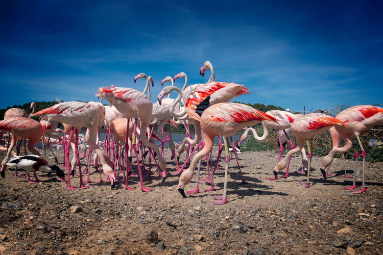 View of flamingos birds on land against sky