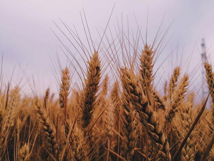 麦子熟了 Cereal Plant Rural Scene Wheat Agriculture Field Backgrounds Summer Crop  Sky Close-up Rye - Grain Oat - Crop