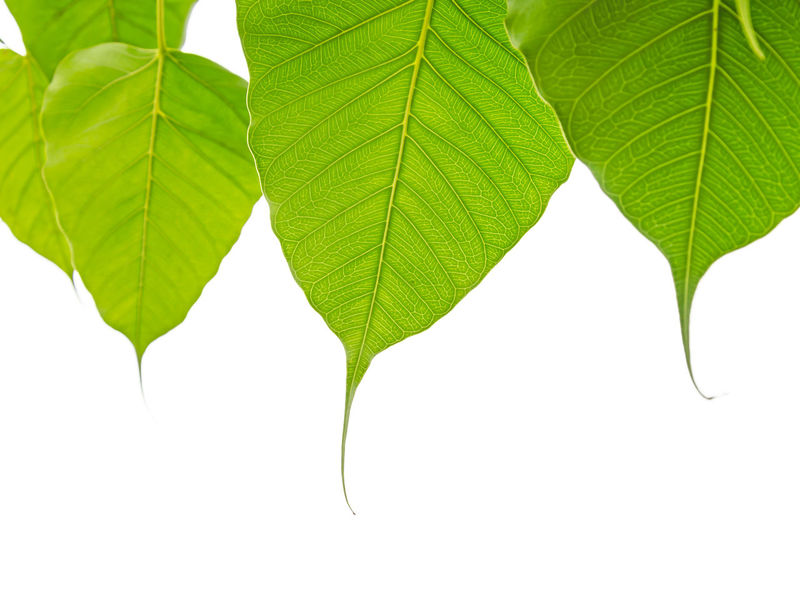 Bodhi or Peepal Leaves on white background, Sacred Tree for Hindus and Buddhist Beauty In Nature Bodhi Leaf Branch Close-up Day Fragility Freshness Green Color Growth Leaf Nature No People Outdoors Peepal Plant Studio Shot White Background