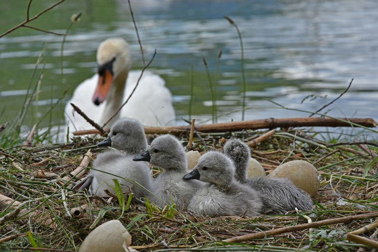 Cygnets Relaxing On Field Against Swan