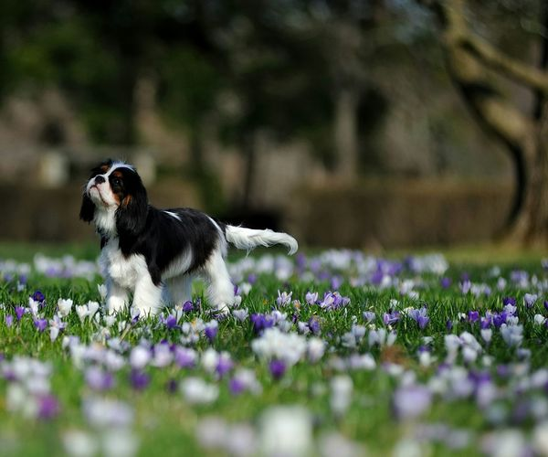 Heart and Hope Cavalier King Charles Spaniel Cavalierkingcharles Springtime Puppy Cavalier Ckcs Puppy Nylo Cavalierking Dog