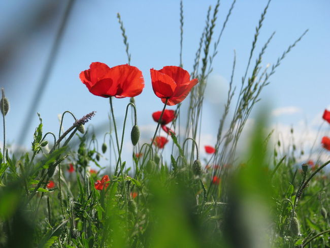 Beauty In Nature Blooming Close-up Day Field Flower Flower Head Fragility Freshness Grass Growth Nature No People Outdoors Plant Poppy Red Sky