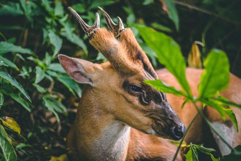 Deer—the