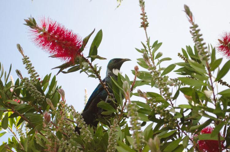 Tui in a pohutukawa tree Pohutukawa Tui Animals In The Wild Beauty In Nature Bird Nature Perching Tree