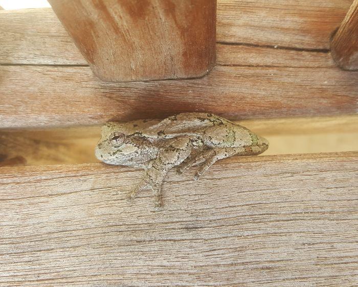 Wood Frog Camoflauge Animals Amphibian Brown