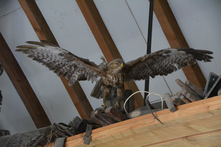 Low angle view of hawk with spread wings perching on wooden plank against ceiling