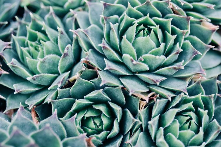 Full frame shot of succulent plant